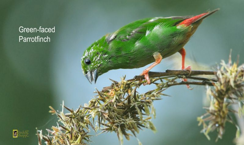 Green-faced Parrotfinch