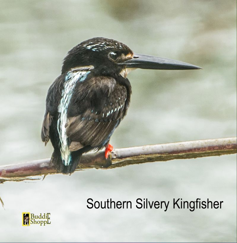 Southern Silvery Kingfisher